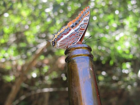 Two-tailed Pasha, Charaxes jasius, feeding on beer