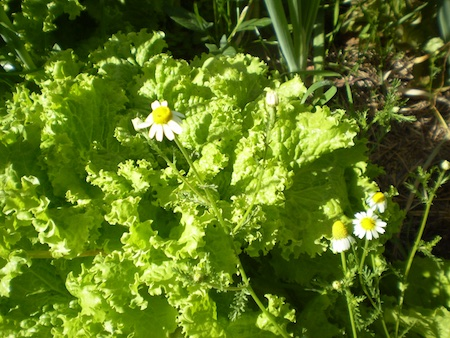 Lettuce and chamomile
