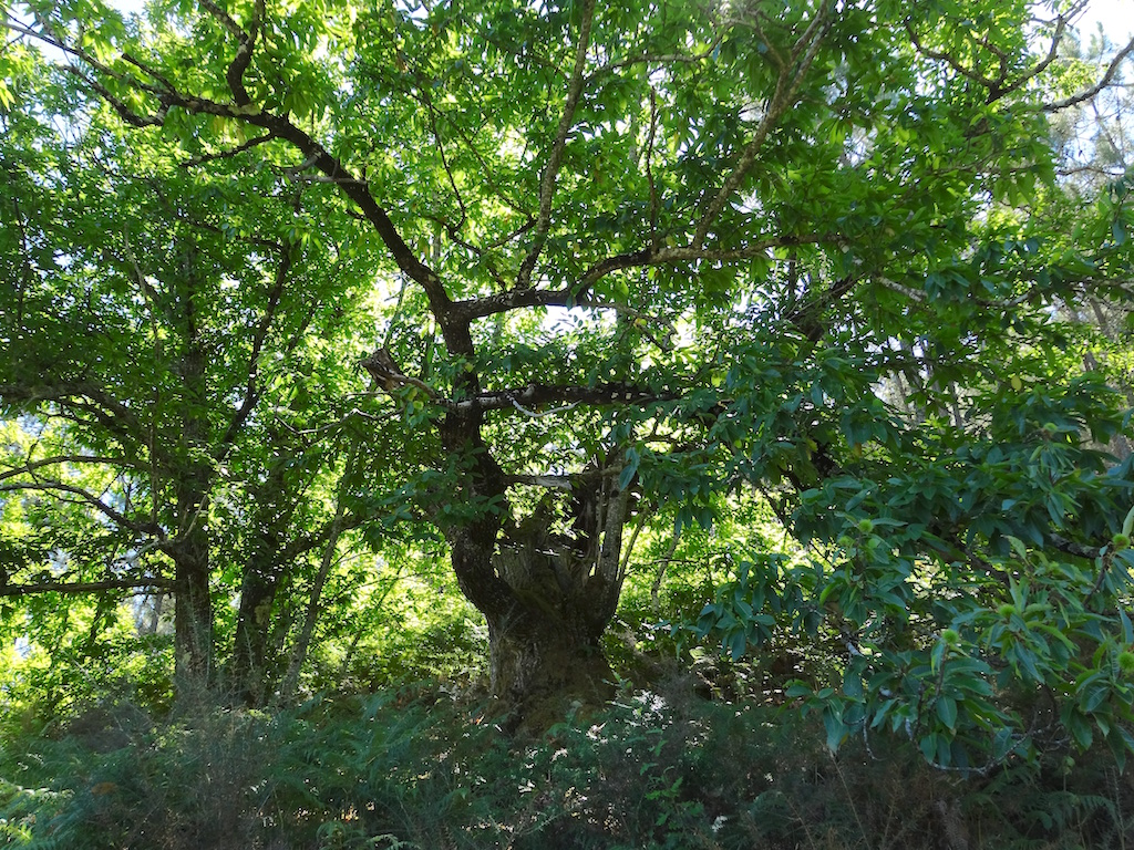 Old chestnut trees in Quinta do Vale's woodland