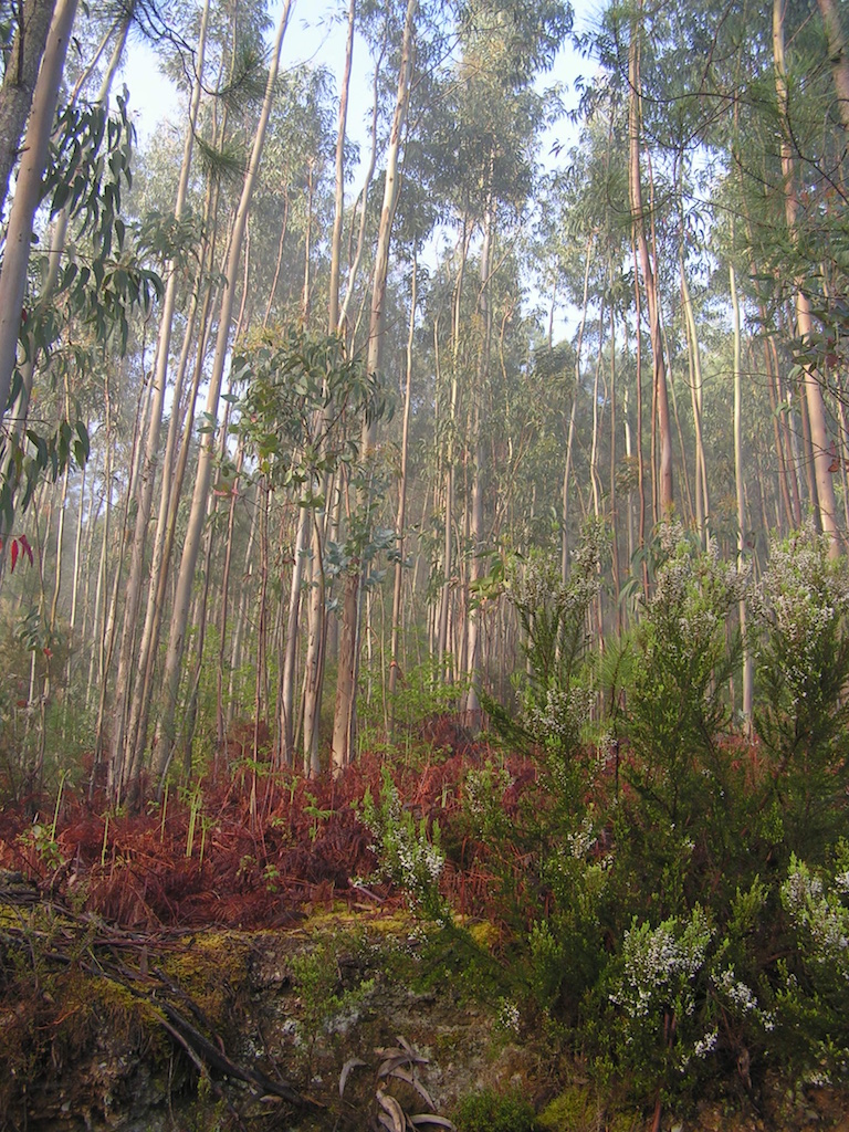 Plantation of Eucalyptus close to Quinta do Vale's woodland